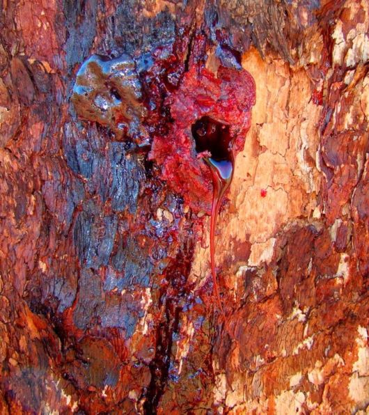 Bloodwood Tree Oozes Dark Red Colored Sap