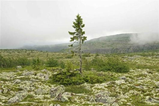 The Oldest Tree In The World Is In Sweden And Is 9500 Years Old
