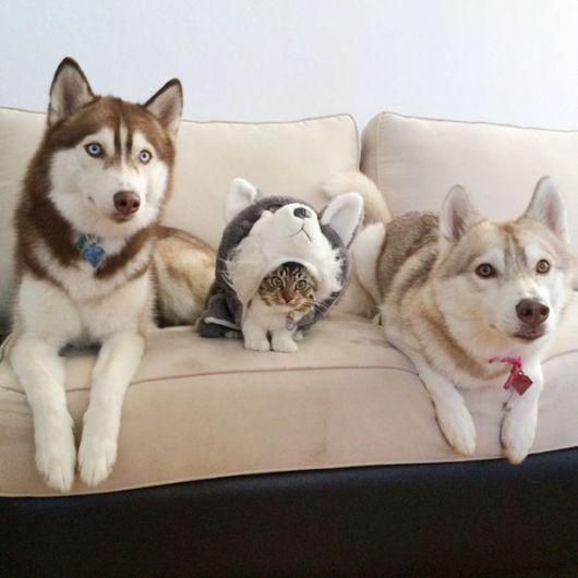 Cutest Best Friends - 3 Huskies And A Kitten